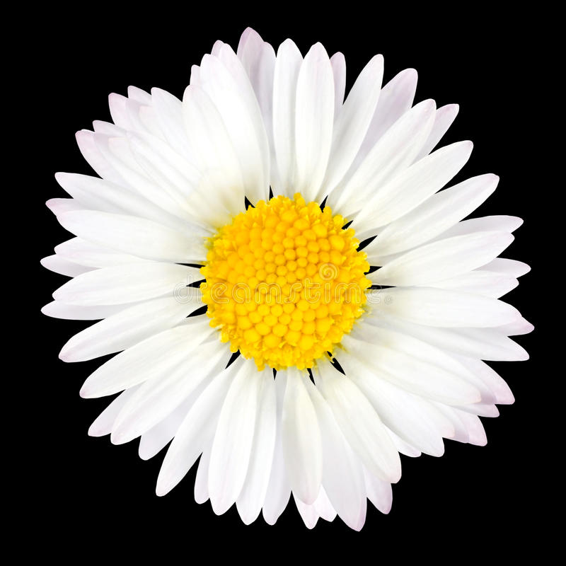 查出的背景黑色雏菊花 免版税图库摄影