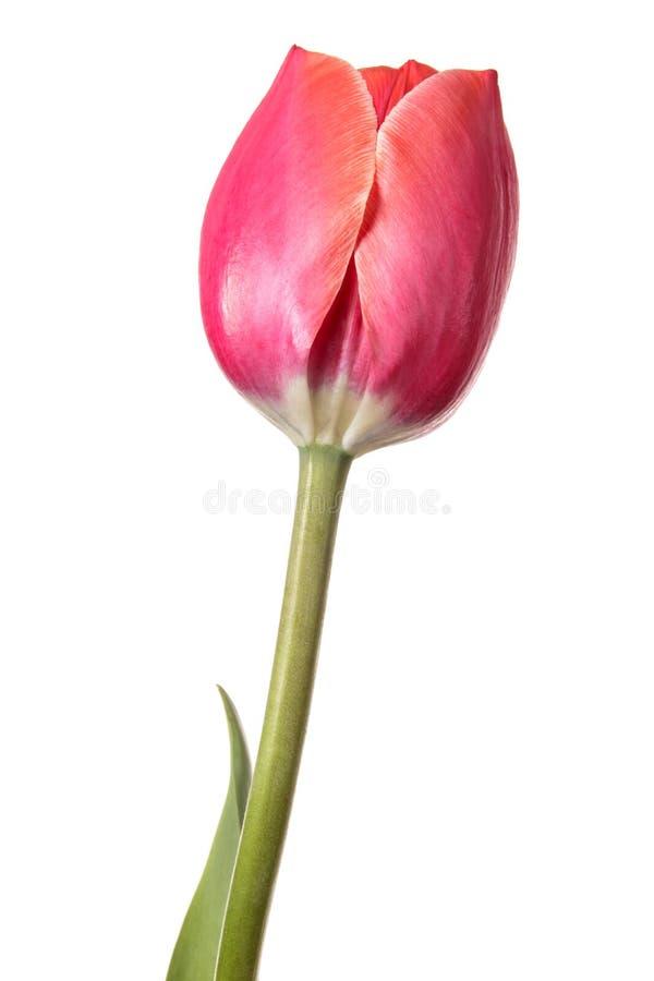 查出的花 在白色背景的桃红色唯一郁金香 图库摄影