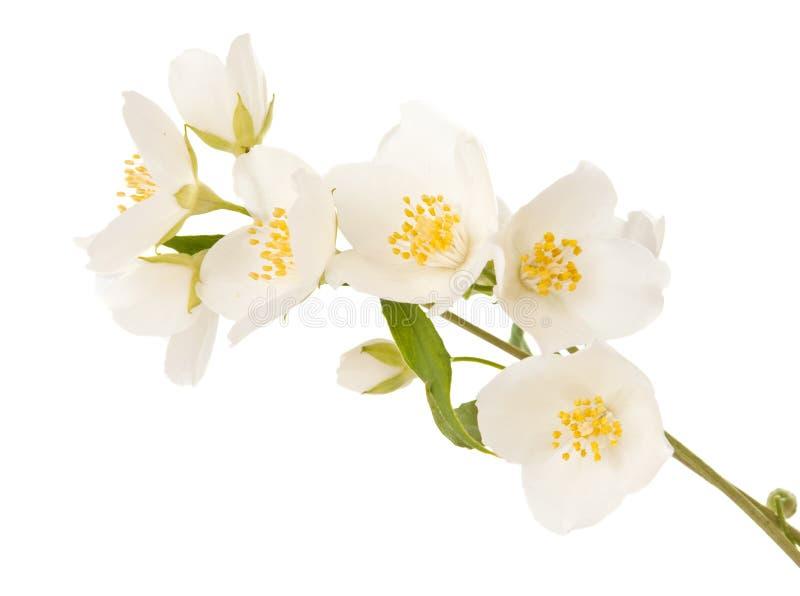 查出的茉莉花枝杈 库存照片