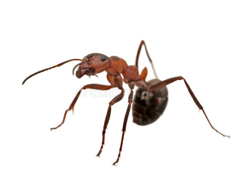 查出的蚂蚁 免版税库存图片