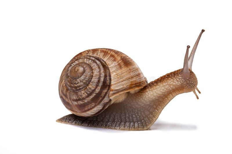 查出的蜗牛白色 库存图片
