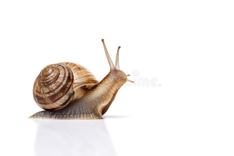 查出的蜗牛白色 免版税库存照片