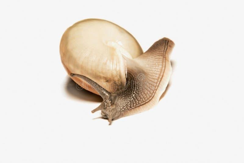 查出的蜗牛白色 库存照片