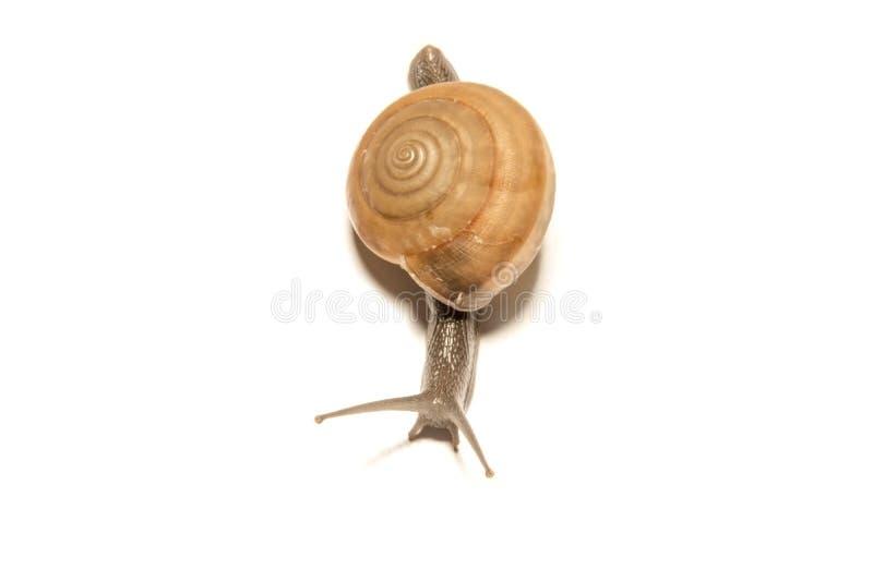 查出的蜗牛白色 图库摄影