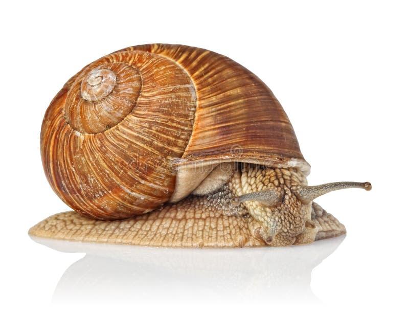 查出的蜗牛 库存图片