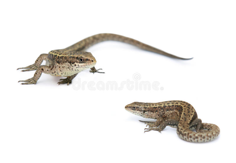 查出的蜥蜴二白色 图库摄影