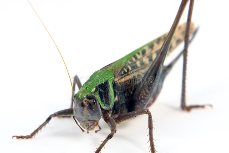 查出的蝗虫白色 免版税库存图片