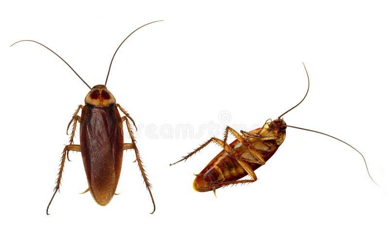 查出的蟑螂 免版税库存照片