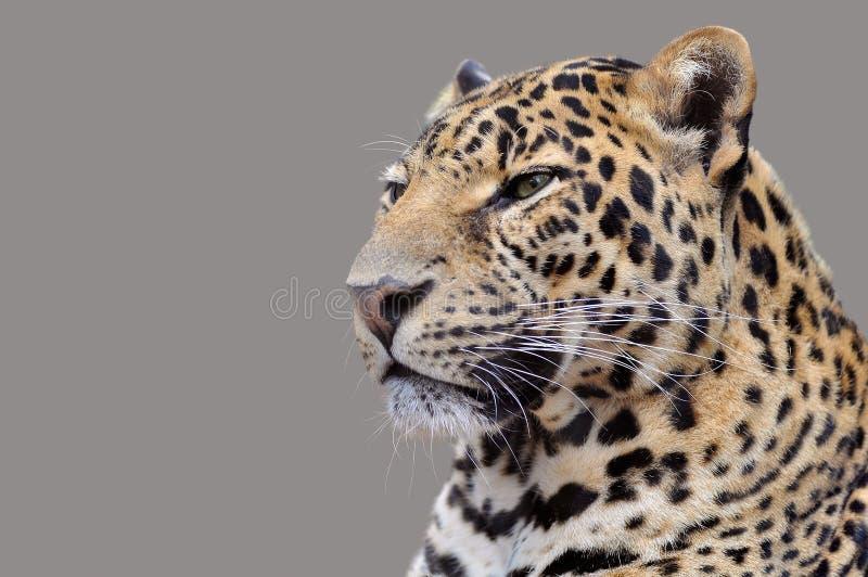 查出的豹子纵向 免版税库存图片