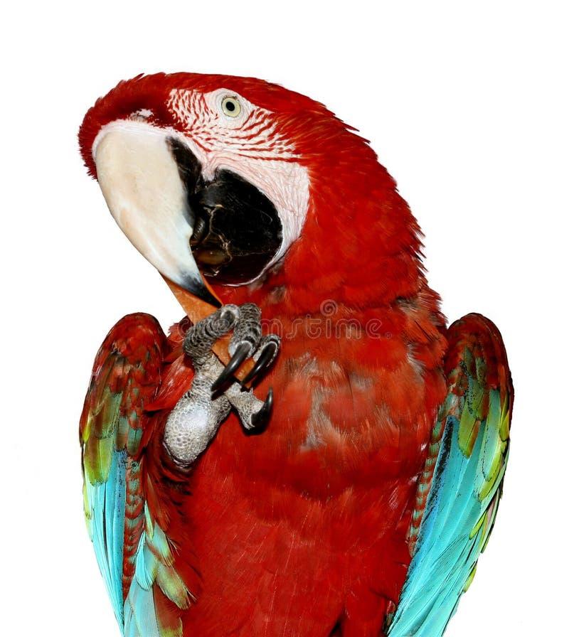 查出的金刚鹦鹉鹦鹉 免版税库存照片
