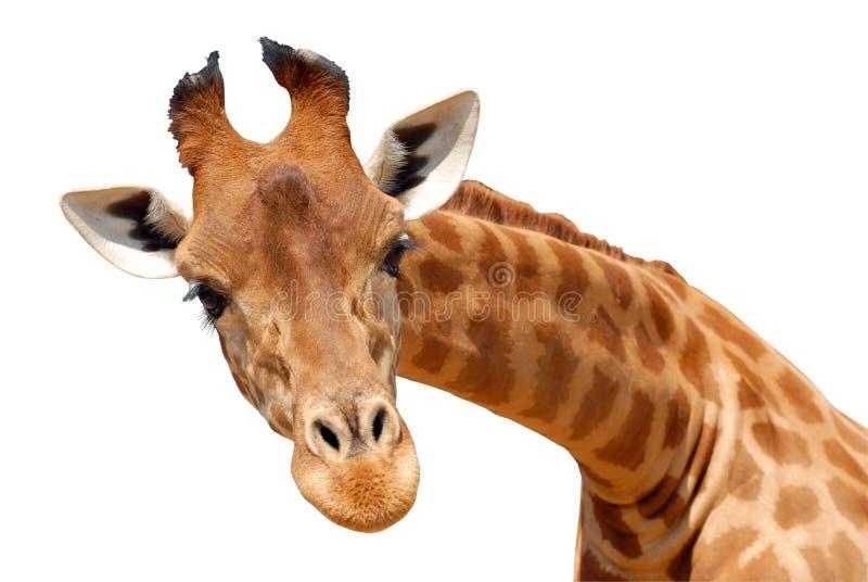 查出的长颈鹿题头 免版税图库摄影