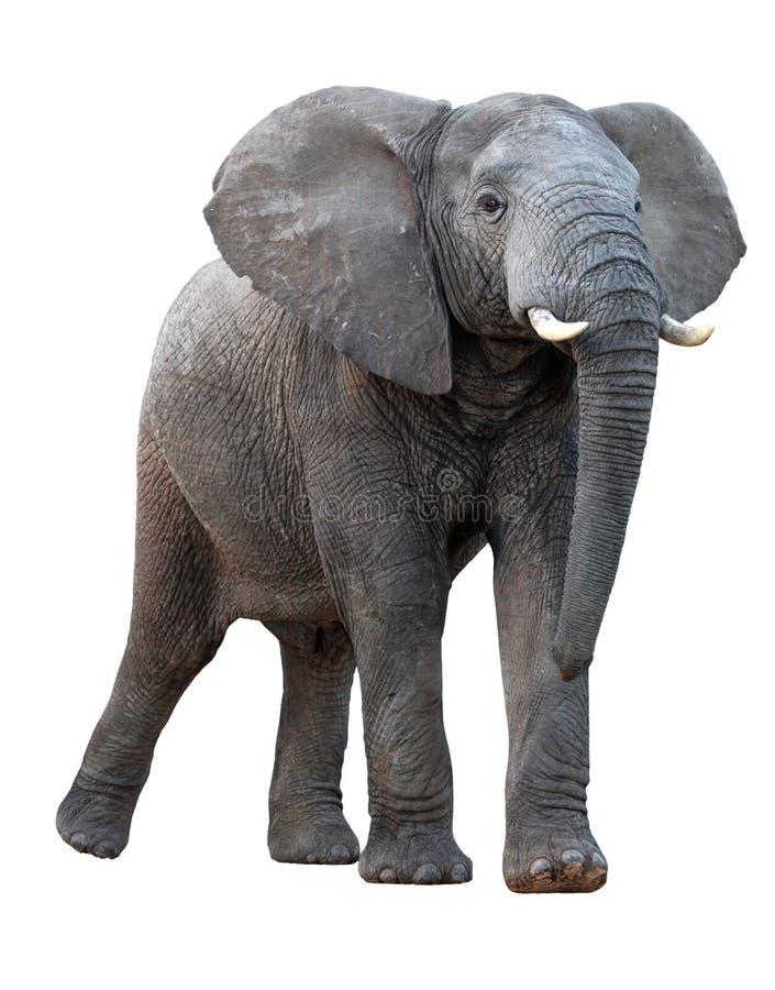 查出的非洲大象 免版税库存照片