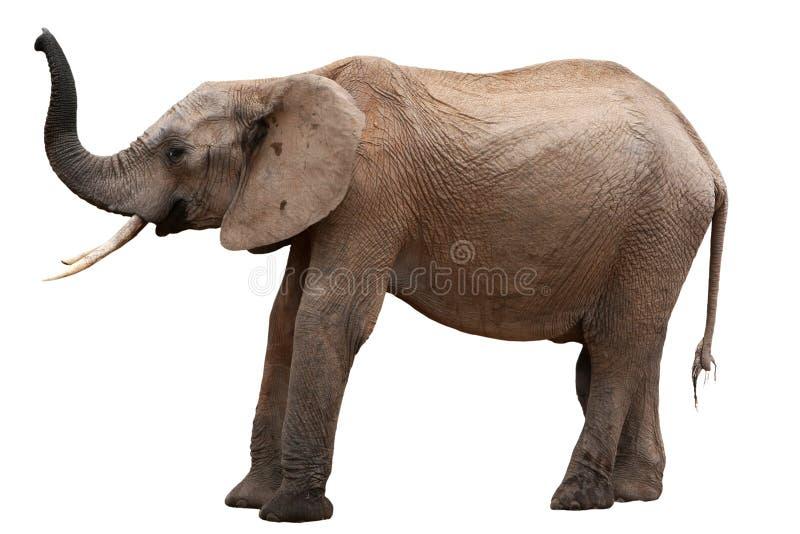 查出的非洲大象 图库摄影