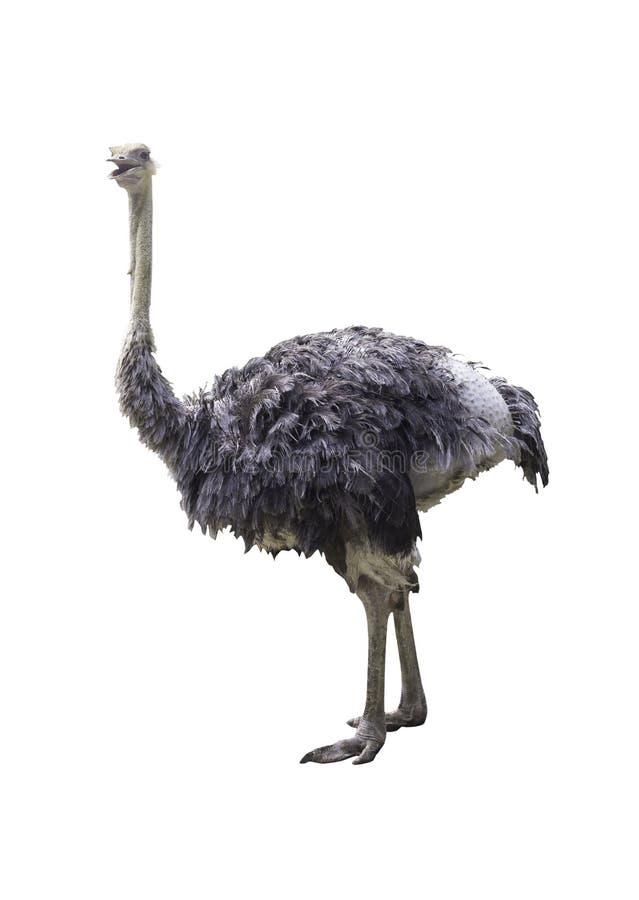 查出的驼鸟白色 免版税库存照片