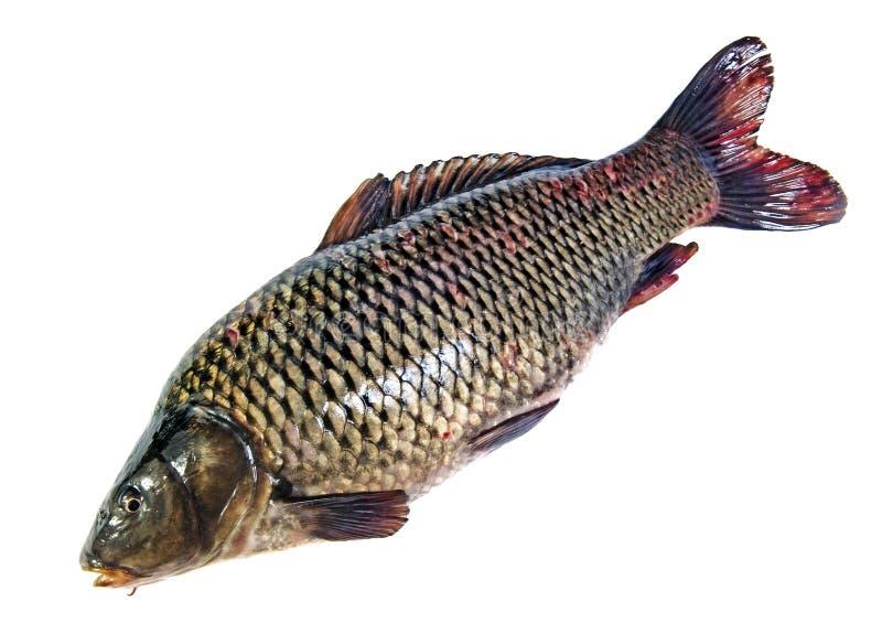 查出的鱼 免版税库存照片