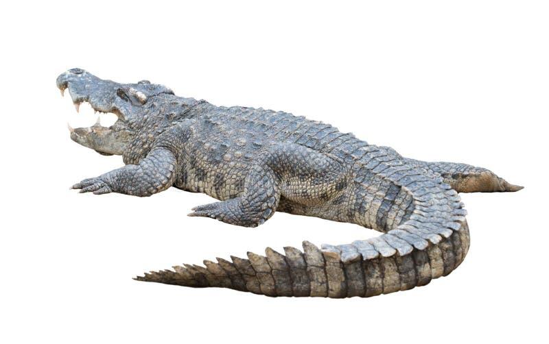 查出的鳄鱼 图库摄影