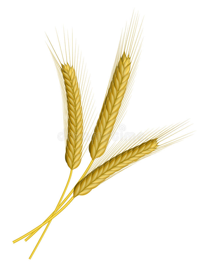查出的麦子白色 库存例证