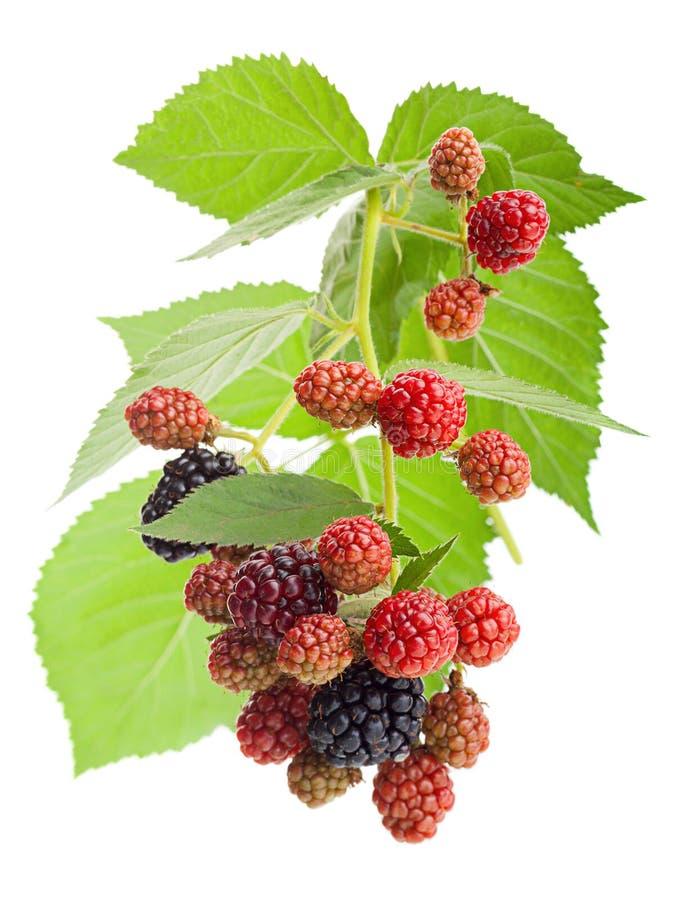 查出的黑莓 图库摄影