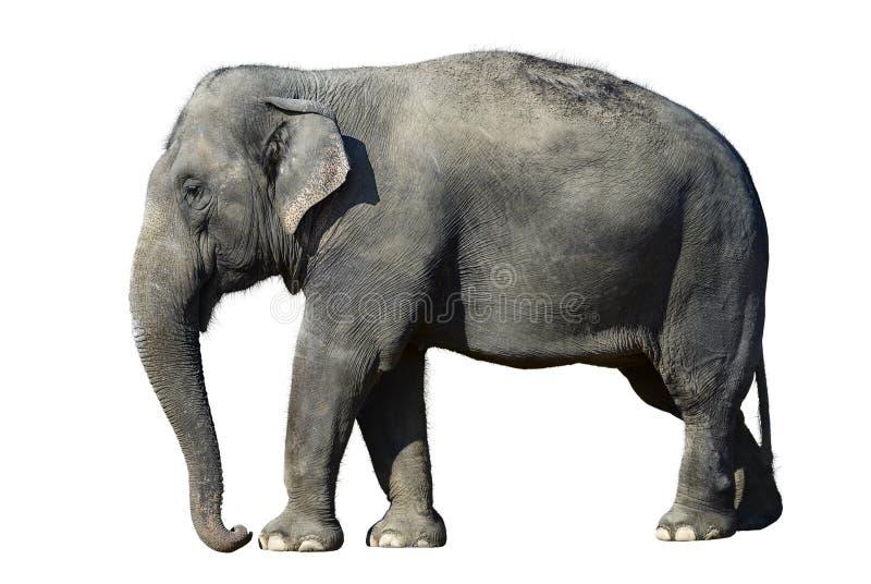查出的elefant 免版税图库摄影