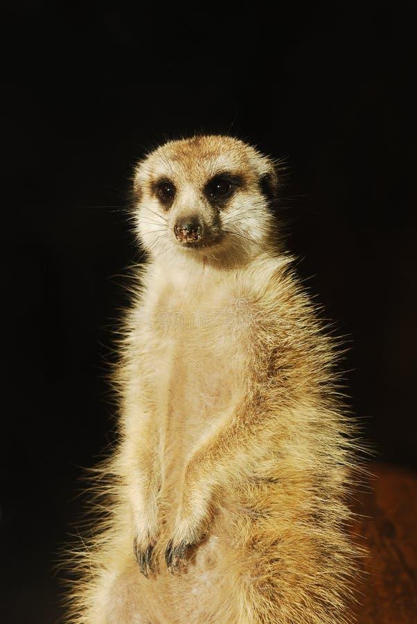 查出的meerkat纵向海岛猫鼬类suricatta 免版税库存图片