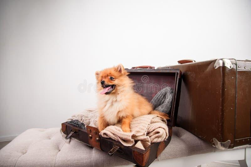 查出 狗旅客 图库摄影