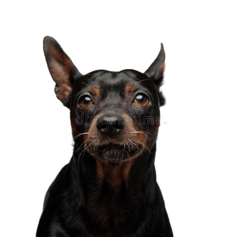 查寻一只可爱的小的小狗的画象 免版税库存图片