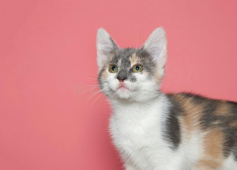 查寻一只被稀释的白棉布的小猫的画象 免版税库存图片