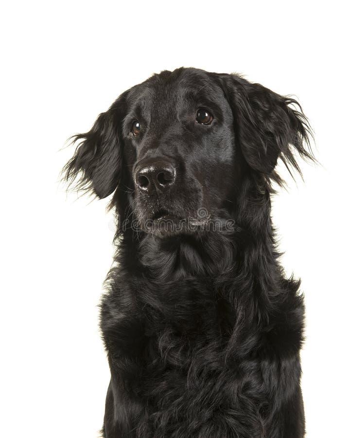 查寻一条黑flatcoat猎犬的狗和sidewa的画象 库存照片
