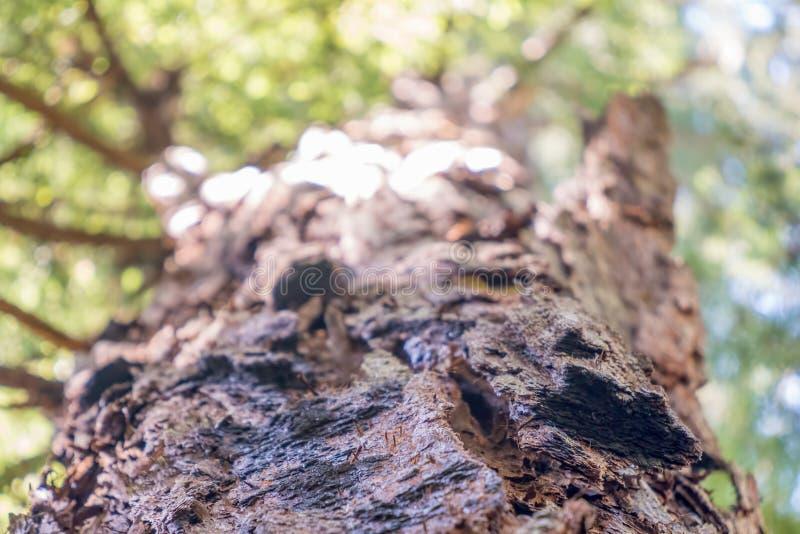查寻一棵巨型红木在阿姆斯特朗红木陈述自然储备-索诺马县,加利福尼亚 图库摄影