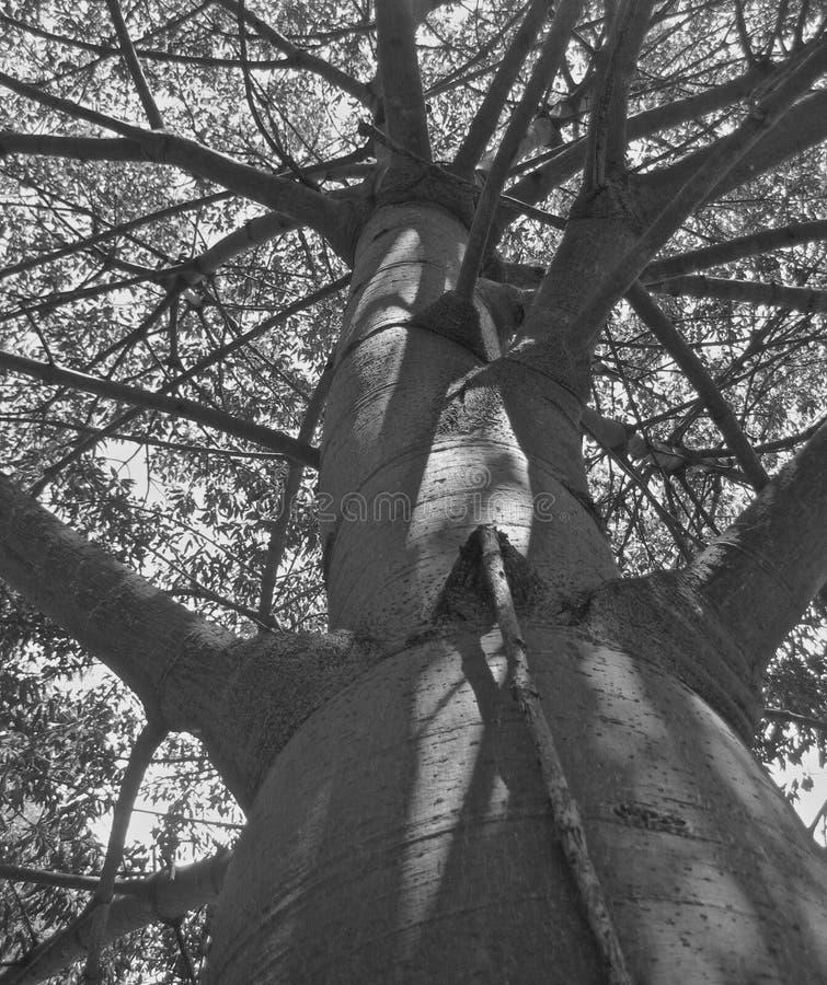 查寻从boab树的圆鼓的基地 库存照片