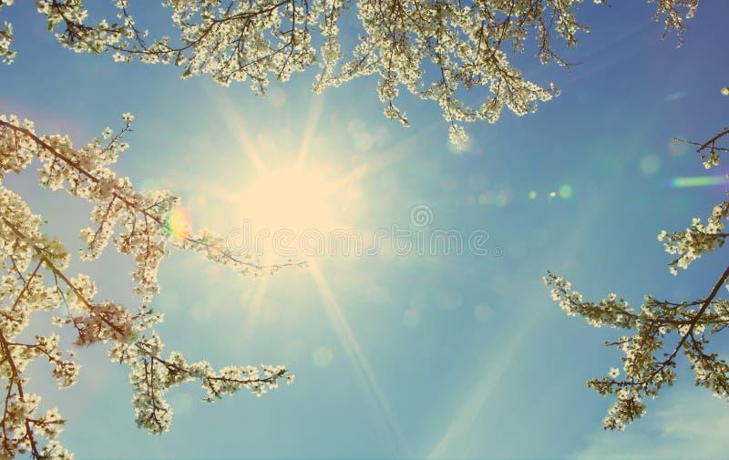 查寻入明亮的太阳和蓝天通过分支 进展在春天的树枝 免版税库存照片