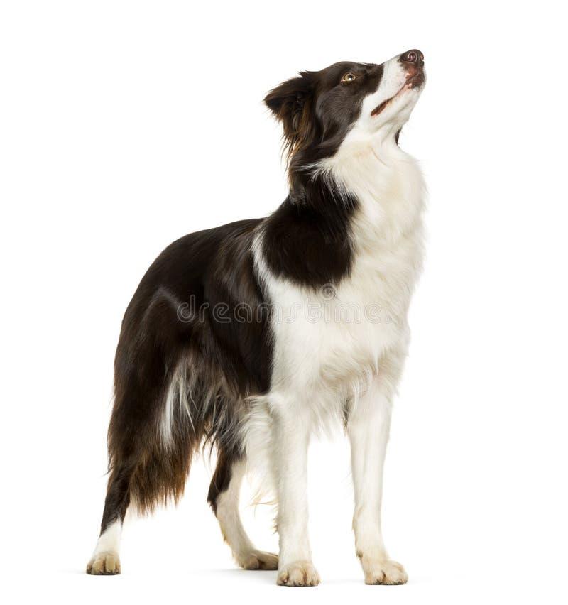 查寻反对白色背景的博德牧羊犬身分 免版税图库摄影