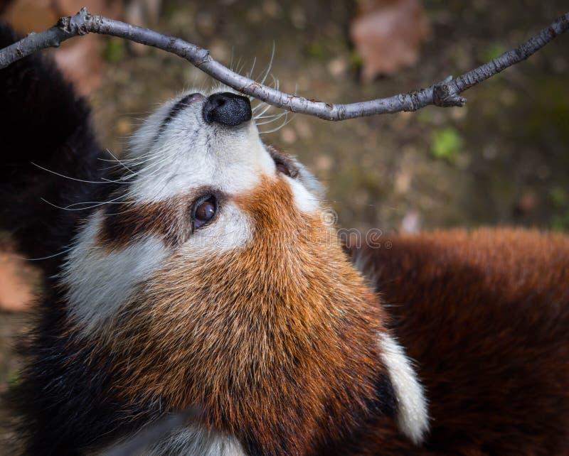 查寻在天空的红熊猫或小熊猫 E 库存图片