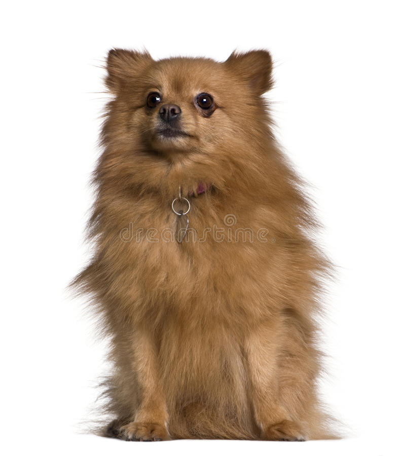 查寻坐的波美丝毛狗的狗 库存图片