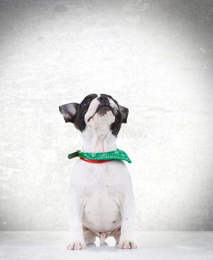 查寻好奇供以座位的法国牛头犬的小狗 免版税图库摄影