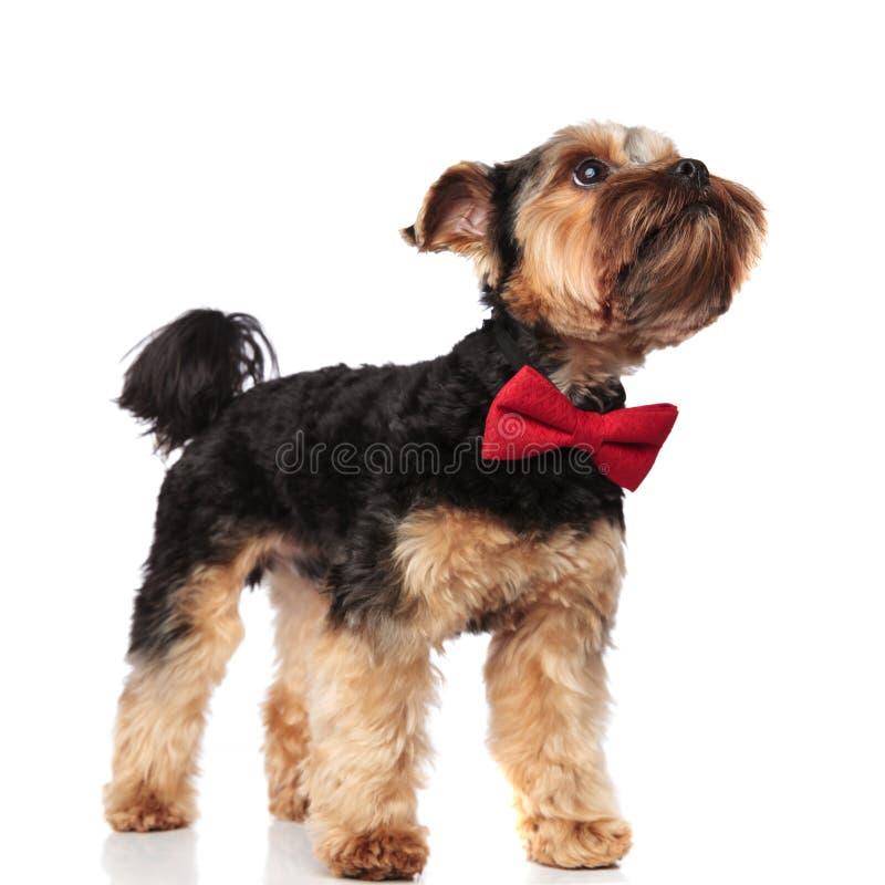 查寻好奇的约克夏狗侧视图  免版税图库摄影