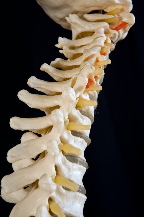 查寻往头骨的基地的人的脊椎 图库摄影