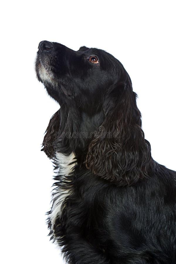 查寻服从的西班牙猎狗的斗鸡家 库存照片