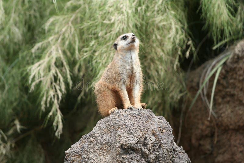 查寻meerkat suricato 免版税库存图片