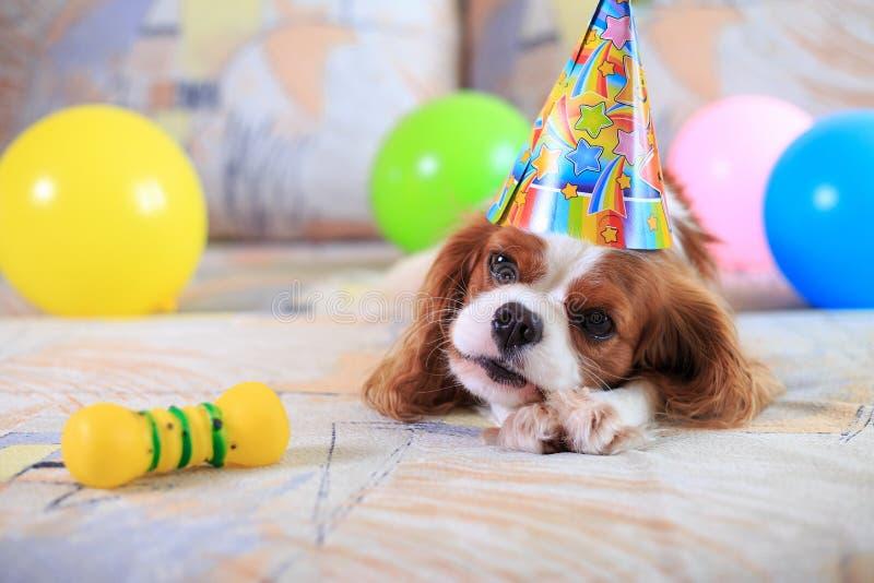 查尔斯国王西班牙猎狗 免版税库存照片