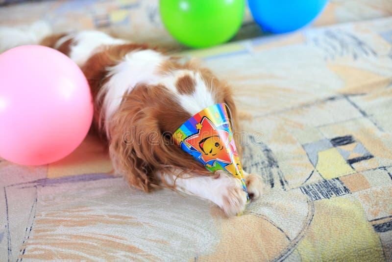 查尔斯国王西班牙猎狗 免版税库存图片