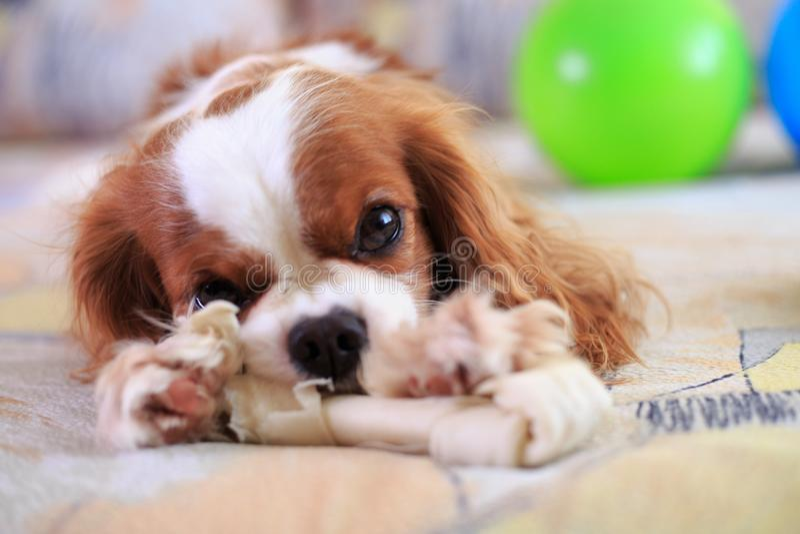 查尔斯国王西班牙猎狗 库存图片