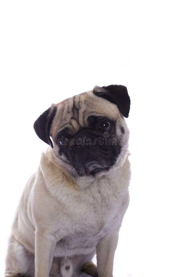 查找哀伤的哈巴狗 免版税库存照片