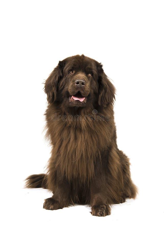 查找坐的棕色纽芬兰的狗隔绝在白色ba 库存照片