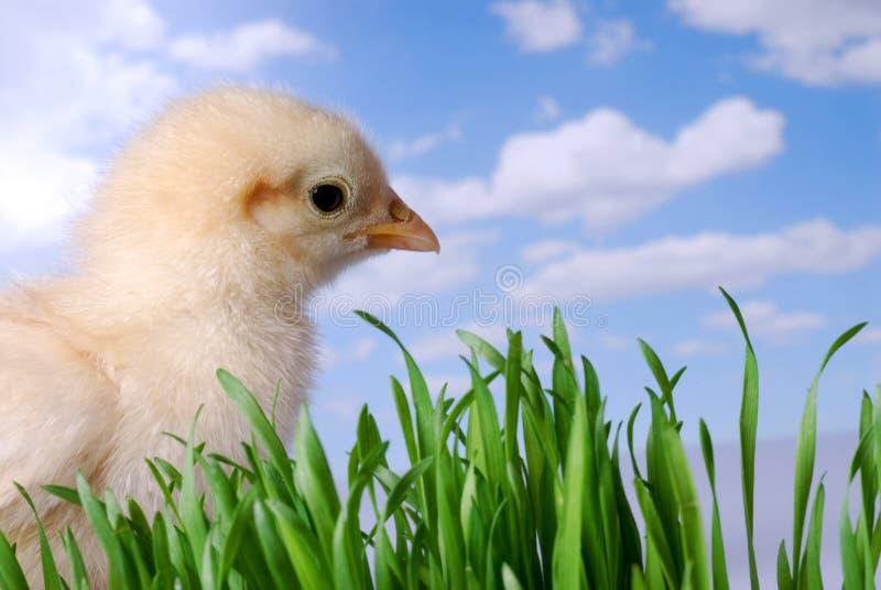 查找天空的鸡 免版税库存图片