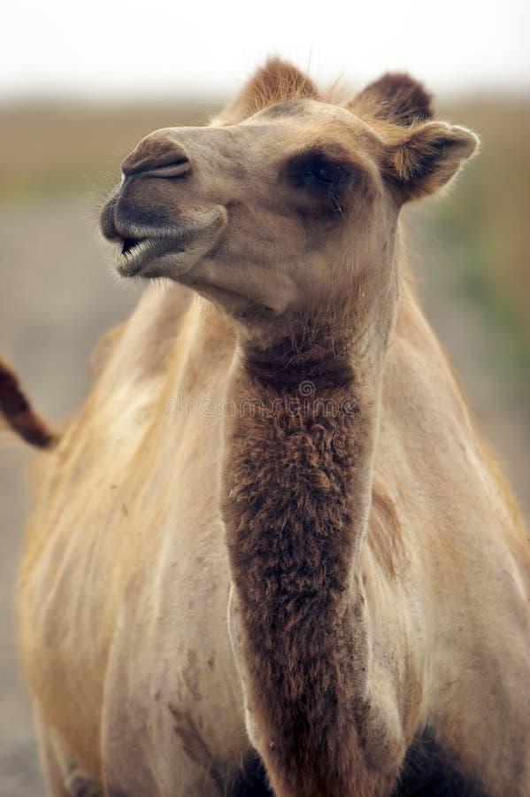 查找对您的骆驼眼睛 免版税图库摄影