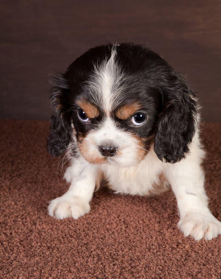 查找小狗 免版税库存照片