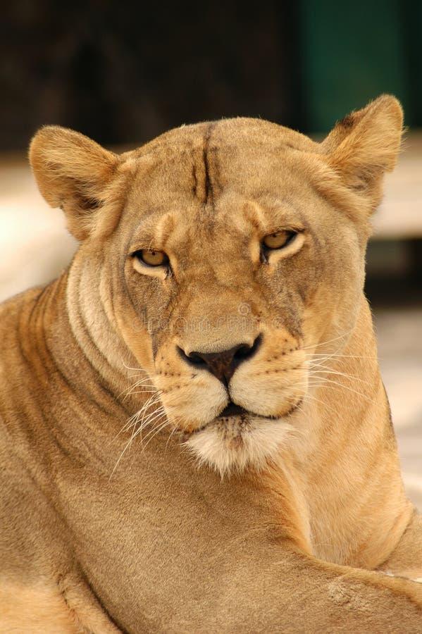 Download 查找您的狮子 库存照片. 图片 包括有 闹事, 野生生物, 纵向, 眼睛, 敌意, 自然, 利奥, 女性, 破擦声 - 191610