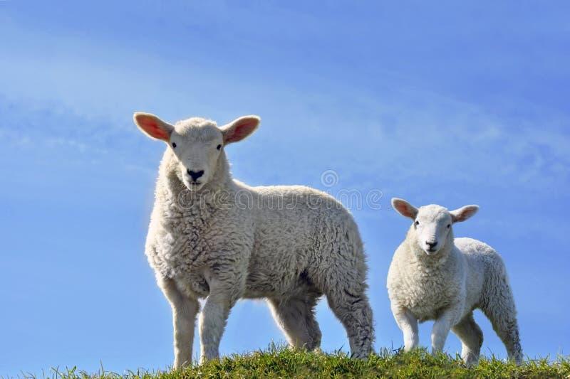 查找春天二的好奇逗人喜爱的羊羔 免版税图库摄影