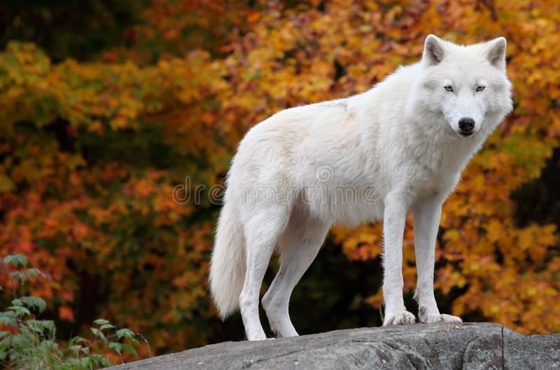 查找狼的北极照相机日秋天 图库摄影